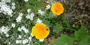 Calif poppy